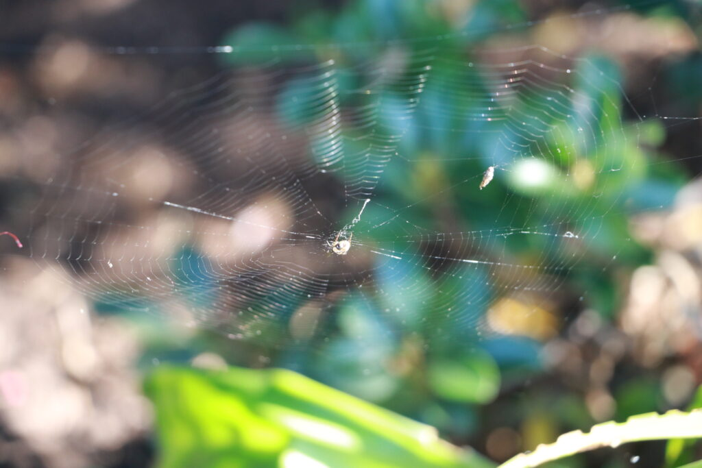 A spider in the centre of its web waiting for the guests